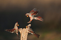 Pyrrhuloxia (Cardinalis sinuatus), males fighting, Starr County, Rio Grande Valley, South Texas, USA