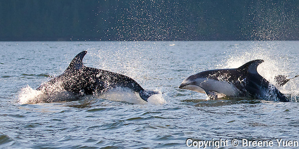 Pacific White Sided Dolphins
