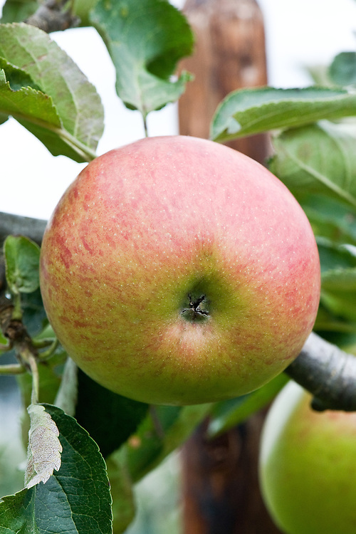 Apple 'Jonagold', mid September. Derived from one of the best-known and most popular American dessert apples, 'Jonathan'. Now grown all over the world. Crisp, juicy, with a rich sweet-acid flavour. Triploid, spur-bearer.