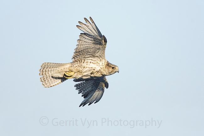 Adult female Brown-morph Gyrfalcon (Falco rusticolus) in flight. Seward Peninsula, Alaska. May.
