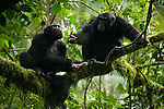 Africa, Uganda, Kibale National Park, Ngogo Chimpanzee Community. Adult male chimpanzees meat eating. Basi begs for meat