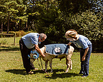 July 31, 2017. Chapel Hill, North Carolina.<br /> <br /> Ginger Holler and her husband Don Basnight tether Rameses the Ram and put on his UNC blanket. <br /> <br /> Don Basnight is one of the members of the Hogan family who have long been the caretakers of Rameses the Ram. The current Rameses is the 21st in the line of the University of North Carolina's live mascot.
