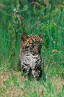 654303008 a captive blue-eyed african leopard cub panthera pardus walks through tall grass - species is native to sub-saharan africa and is an endangered species