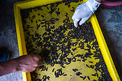 Workers sort maggots on a tray at the pilot project farm involving maggot production in village Kundang, at the outskirts of capital Kuala Lumpur, Malaysia.