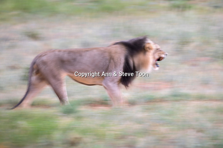 Lion (Panthera leo) male running, Kgalagadi transfrontier park, Northern Cape, South Africa, February 2017