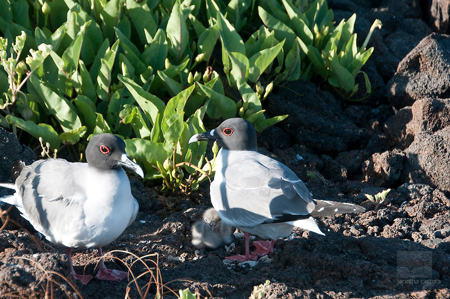 A pair of swallow tailed gulls with their baby on the path of Genovesa, galapagos