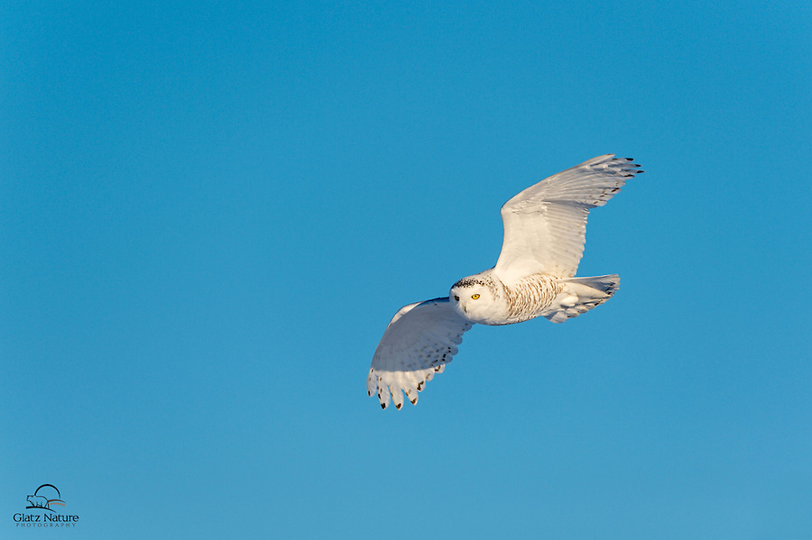 Snowy Owl (Bubo scandiacus) in flight on a clear, cold winter day in Alberta, Canada.