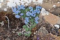 Mountain forget-me not wildflowers, Utukok uplands, National Petroleum Reserve Alaska, Arctic, Alaska.