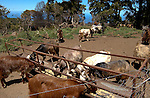 Goats feeding from troughs on farm.La Palma, Canary Islands, Spain