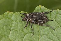Stolperkäfer, Stolper-Käfer, das Weibchen trägt am Hinterleibsende einen auffälligen, langen Stachel (Telson), Valgus hemipterus, Scarabaeus hemipterus