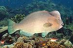 Bolbometopon muricatum, Bumphead parrotfish, Raja Ampat, Indonesia