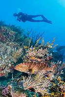 tiger grouper, Mycteroperca tigris, and scuba diver, coral reef, Gardens of the Queen, Jardines de la Reina, Jardines de la Reina National Park, Cuba, Caribbean Sea, Atlantic Ocean