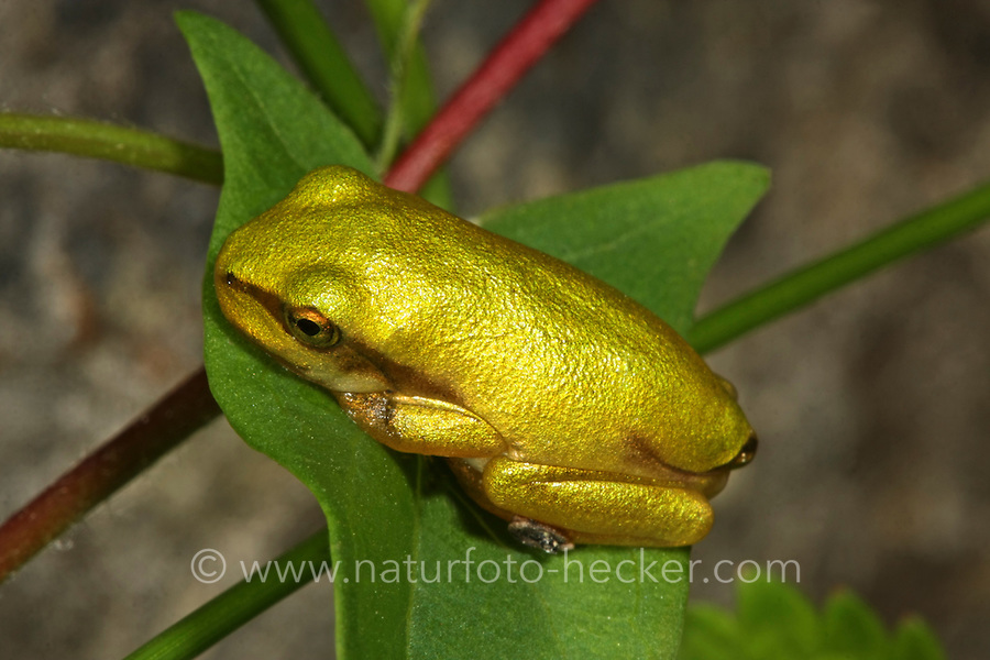 Europäischer Laubfrosch, Jungtier, Laub-Frosch, Frosch, Hyla arborea, European treefrog, common treefrog, Central European treefrog