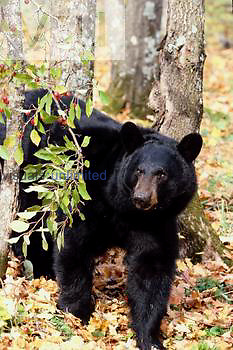 A Black Bear feeds on a branch of crab apples. ,Ursus americanus,