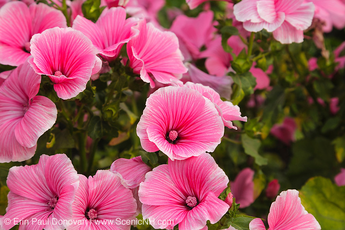 Rose Mallow during the summer months at  Prescott Park in Portsmouth, New Hampshire USA