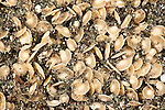A mass of spiral shells in the sand