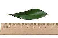 Olivenbaum, Olive, Oliven, Oliven-Baum, Ölbaum, Olea europaea, Olive, L'olivier. Blatt, Blätter, leaf, leaves
