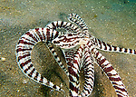 A mimic octopus flattens out along the sandy bottom while moving sideways to escape the photographer.<br /> <br /> The mimic octopus was not discovered officially until 1998, off the coast of Sulawesi, Indonesia. This is the only octopus known to mimic the appearance and mannerisms other species.  Mimic octopus have been known to imitate more than fifteen different species, including sea snakes, lionfish, flatfish, brittle stars, giant crabs, sea shells, stingrays, flounders, jellyfish, sea anemones, and mantis shrimp.