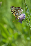 butterfly, Edward's Fritillary, Speyeria edwardsii, nature, foliage, insect, Cow Creek watershed, Rocky Mountain National Park, summer, Rocky Mountains, Colorado, USA
