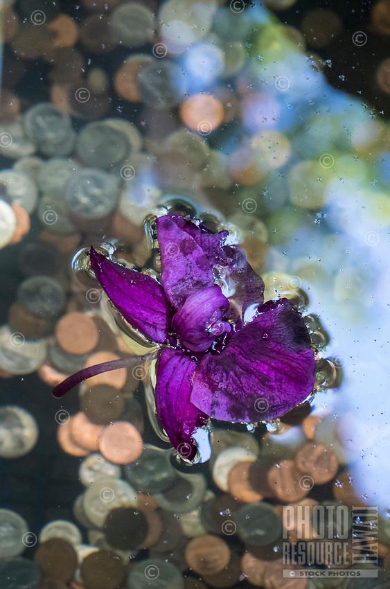 A purple blossom floats over coins thrown into a wishing well at Hawaii Tropical Botanical Garden near Onomea Bay in Papa'ikou near Hilo, Big Island of Hawai'i.