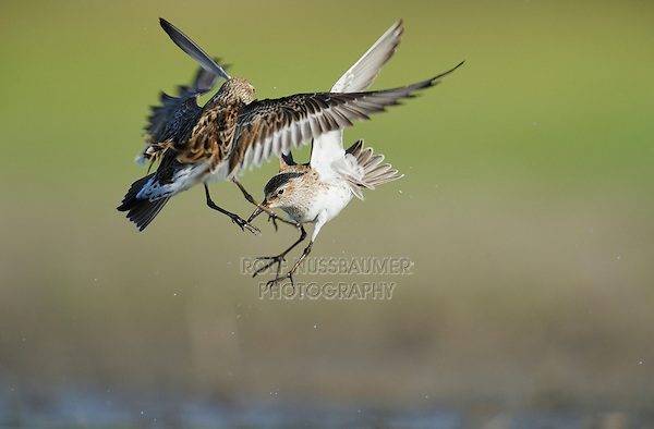 White-rumped Sandpiper (Calidris fuscicollis), adults fighting, Dinero, Lake Corpus Christi, South Texas, USA