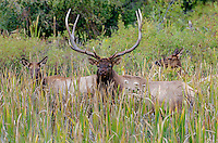 Large Bull Rocky Mountain Elk (Cervus canadensis nelsoni) with cows.  Western U.S., fall.