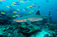 White-tip Reef Shark, Triaenodon obesus, with School of Blue and Yellow Fusiliers, Caesio teres, Crystal Bommie dive site, Gili Lawa Laut Island, north of Komodo Island, Komodo National Park, Indonesia, Indian Ocean