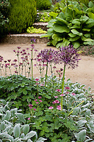 Flowering groundcover perennials (Astrantia, Stachys) with Allium in California garden,