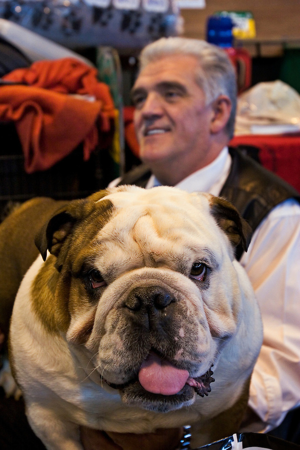 Birmingham, England, 11/03/2006..An English Bulldog and his owner as over 22,000 dogs and their owners take part in Crufts Dog Show, the largest event of its kind in the world.
