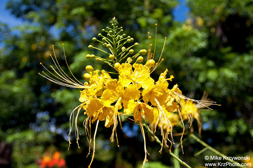 Yellow Pride of Barbados