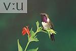 A male Lucifer Hummingbird (Calothorax lucifer) Sonoita, Arizona