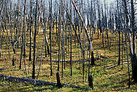 Fire damaged trees in Yellowstone National Park.1988 Fire damaged 793,880 park acres. This photo made in 1997. Yellowstone National Park WY USA.