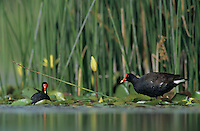 Common Moorhen, Gallinula chloropus, adult, Welder Wildlife Refuge, Sinton, Texas, USA, May 2005