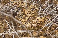 Limestone in potato ridges - Lincolnshire, October
