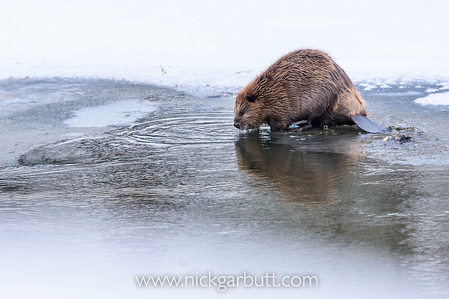 North American Beaver (Castor canadensis) feeding on frozen edge of Upper Yellowstone River. Yellowstone National Park, Wyoming, USA. January