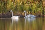 Trumpeter swans in northern Wisconsin.