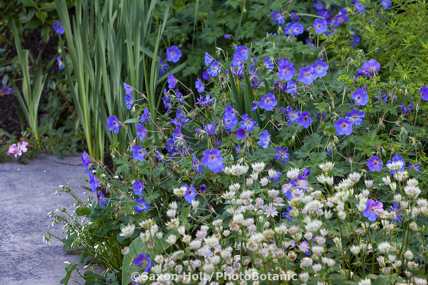 Blue flowering geranium Roxanne in perennial border with Astrantia Buckland; Gary Ratway garden