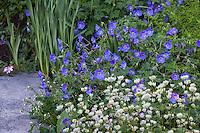 Blue flowering geranium Roxanne in perennial border with Astrantia Buckland; Gary Ratway garden