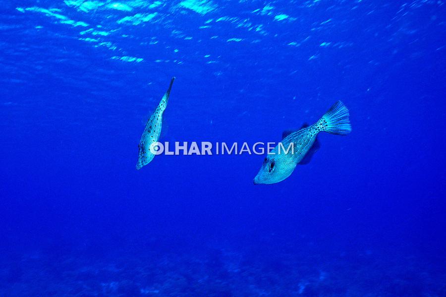 Peixe Cangulo ( Aluterus scriptus) em Bonaire, Caribe. Foto de Maristela Colucci.