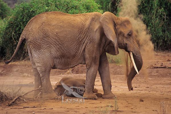 African Elephant (Loxodonta africana) cow and calf dust bathing.