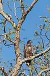 Brazoria County, Damon, Texas; a newly fledged, juvenile Bald Eagle chick sitting on a branch of a live oak tree in early morning sunlight