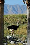 Ostrich at the Living Desert