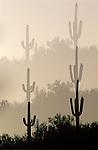 Triple exposure of Saguaro Cactus, Sonoran Desert, Organ Pipe Cactus National Monument, AZ.