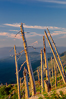 Trees killed by Mt. St Helens eruption<br />  and Mt Hood from Smith Creek Viewpoint<br /> Mount St. Helens National Volcanic Monument<br /> Cascade Range,  Washington