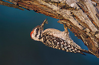 Ladder-backed Woodpecker, Picoides scalaris, male at nesting cavity with insect prey, Willacy County, Rio Grande Valley, Texas, USA
