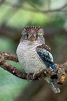 Blue-Winged Kookaburra, Dacelo leachii, Great Keppel Island, Australia
