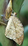 Giant Orange Tip Butterfly, Hebomoia glaucippe, hatching on pupae or chrysalis case, Thailand, South Asia.Thailand....