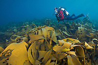 RS1055-D. Bull Kelp (Durvillaea potatorum), huge thick-bladed brown algae covers a shallow reef. This species can exceed 30 feet in length, live to 15 years, and grow 5 inches per day. Commercially important, harvested as a food source and dietary supplement. Tasmania, Australia, Pacific Ocean.<br /> Photo Copyright &copy; Brandon Cole. All rights reserved worldwide.  www.brandoncole.com