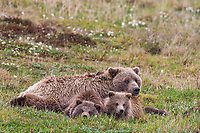 Sow grizzly bear and cubs of the year rest on tundra in Denali National Park, Alaska.
