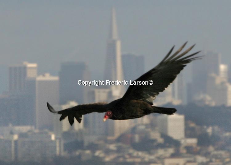A turkey vulture flies over the San Francisco skyline as seen from the Marin headlands, California